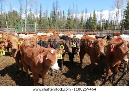 Calves in farm corral  #1180259464