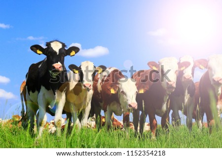 Calves on the field