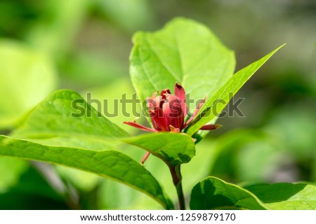 Calycanthus floridus dark red flowering shrub, green plant with beautiful flowers in bloom, green leaves on branches