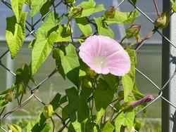 Calystegia sepium americana flowering also known as hedge bindweed, Rutland beauty, bellbind and bugle vine.