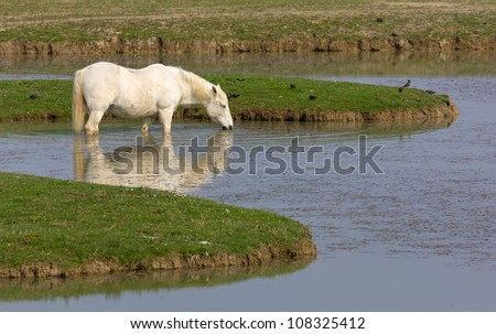 Camargue Horse Drinking Water