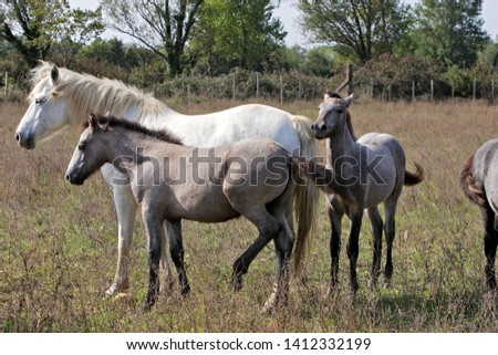 Camargue Horse female with young #1412332199
