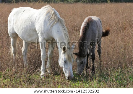 Camargue Horse female with young #1412332202