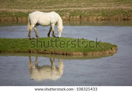 Camargue Horse Grazing