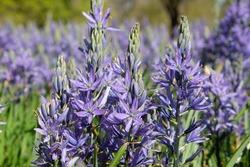 Camassia quamash 'blue melody' in flower