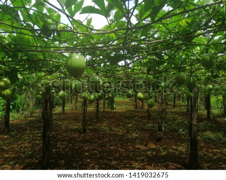 Cambodia passion fruits, the passion fruits that help their living.