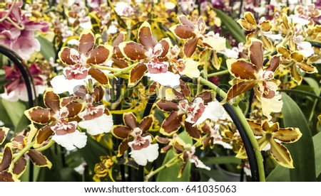 Cambria Colmanara wildcat yellow butterfly. Orchid in flower. Oncidium hybrid.