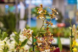 Cambria is a flower of the Orchid family, a hybrid of Oncidium and Miltonia. Brown and yellow petals. Natural bright floral background for the designer.