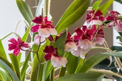 Cambria is a genus of orchids with beautiful spotted and brightly coloured flowers.
