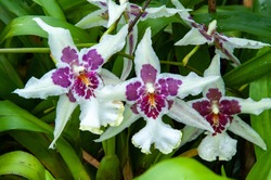Cambria Orchid (Odontoglossum sp.) in Kew Gardens, London, UK