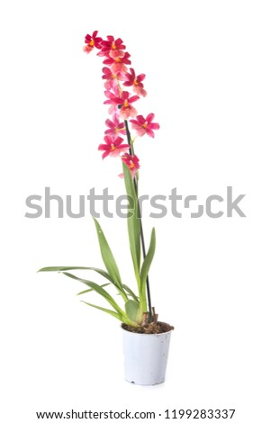 cambria orchid potted plant in front of white background