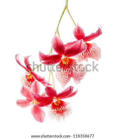 Cambria. Red and white flower orchid isolated on white