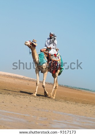 Camel. A series of photos from Egypt