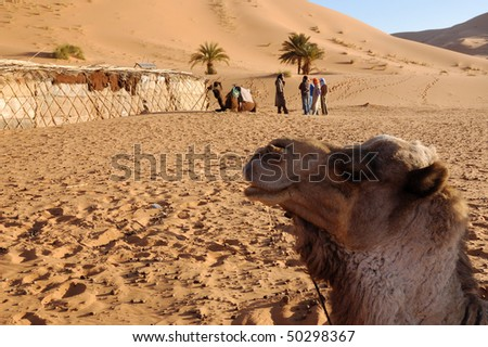 camel and berberes in a desert camping