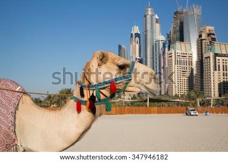 Camel and Dubai skyscrapers background. Camel and urban skyline. Dubai Marina skyscrapers. United Arab Emirates. Dubai beach. Dubai icons.