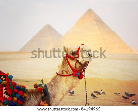 Camel and Great pyramids in Giza valley on a background