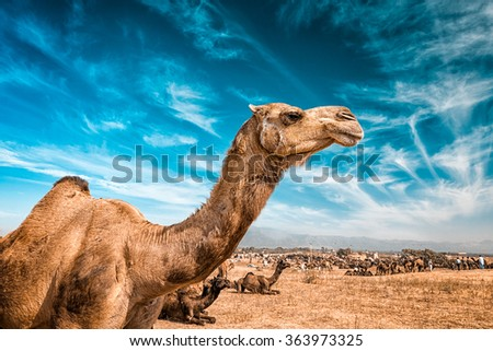Camel at Pushkar Mela  - famous annual camel and livestock fair, held in the town of Pushkar, Rajasthan, India