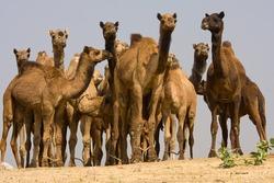 Camel at the Pushkar Fair , Pushkar Camel Mela . Rajasthan, India