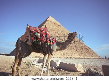 Camel at the Pyramid of Chefren