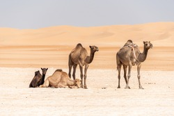 Camel babies resting in the very warm desert in Abu Dhabi, UAE. Guarded by their mother with the soft  sand dunes in the background.