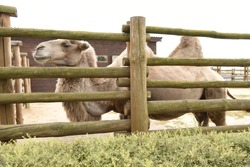 Camel behind a fence in a zoo