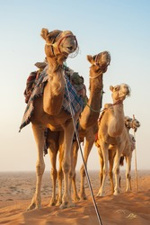 Camel caravan going through the desert
