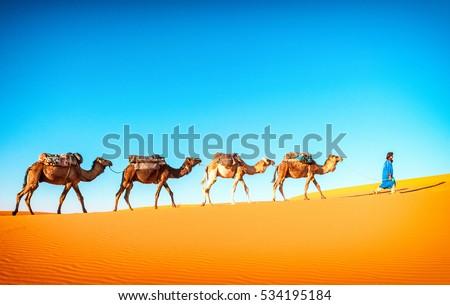 Camel caravan going through the sand dunes in the Sahara desert, Marocco. Camel in desert concept.