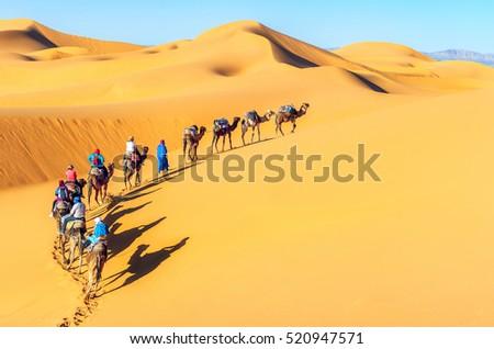 Camel caravan going through the sand dunes in the Sahara Desert. Morocco, Africa