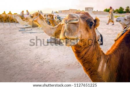 Camel caravan rest in desert. Camel portrait. Camel caravan group photo