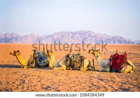 Camel caravan rest on desert sand. Three camels in resting camel caravan scene