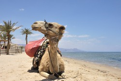Camel close-up at Sinai beach of Red Sea, Egypt.