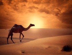 Camel crossing the desert in sunrise time beautiful concept of traveling.