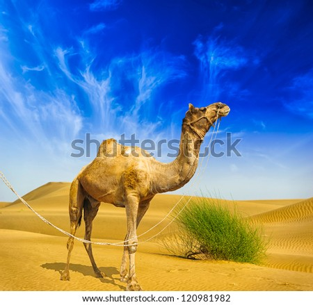 Camel Desert landscape adventure background.