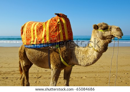 Camel / Dromedary on the beach in Morocco