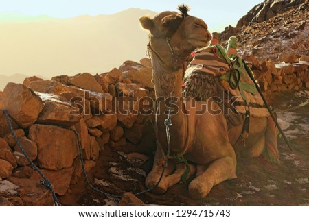 Camel for tourist trips. The animal waits for tired tourists to take them to the top of the Mount Sinai (Mount Horeb, Gabal Musa). Famous touristic place and travel destination in Egypt.