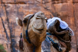 Camel from Guelte d'Archei oasis in Chad. Close up of head. Selective focus.
