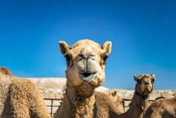 Camel Head Closeup Portrait in Desert.