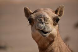 Camel head closeup portrait in sand dunes desert Abu Dhabi.