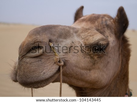 Camel head with reins, close-up on desert background