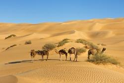 Camel Herd in the Desert - Awbari Sand Sea, Sahara Desert, Libya