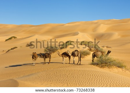 Camel Herd in the Desert - Awbari Sand Sea, Sahara Desert, Libya