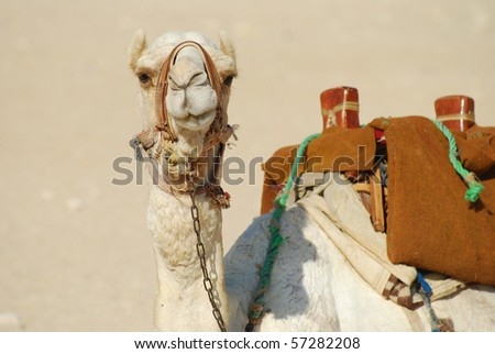 camel in egypt, close up photograph