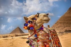 Camel in front of the pyramids,Egypt Cairo.