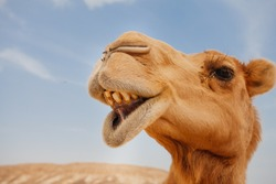 Camel in Israel desert, funny close up