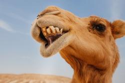 Camel in Israel desert, funny close up