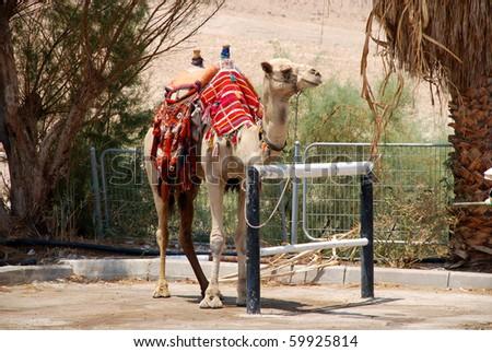 camel in Israel kibbutz