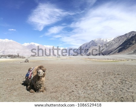 Camel in Nubra Valley / Leh Ladakh India #1086529418