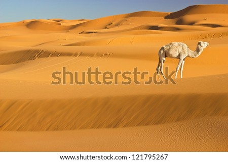 Camel in Sahara desert, Morocco - stock photo