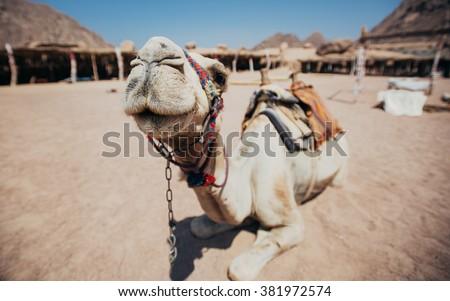 Camel in Sharm El Sheikh #381972574