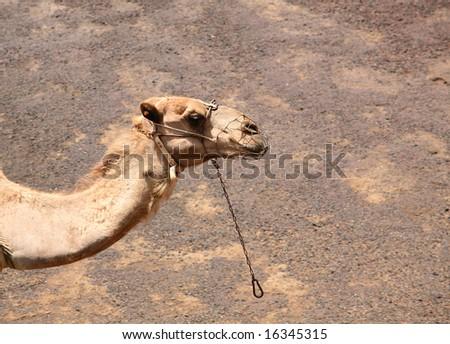 Camel in the Canarian island, Lanzarote